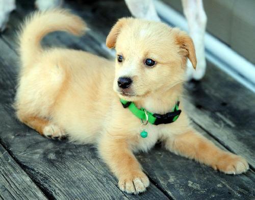 Pomeranian Collie Mix Dog Adoption Dogs Pets