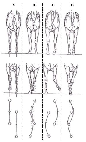 illustration of front legs from four horses showing how they