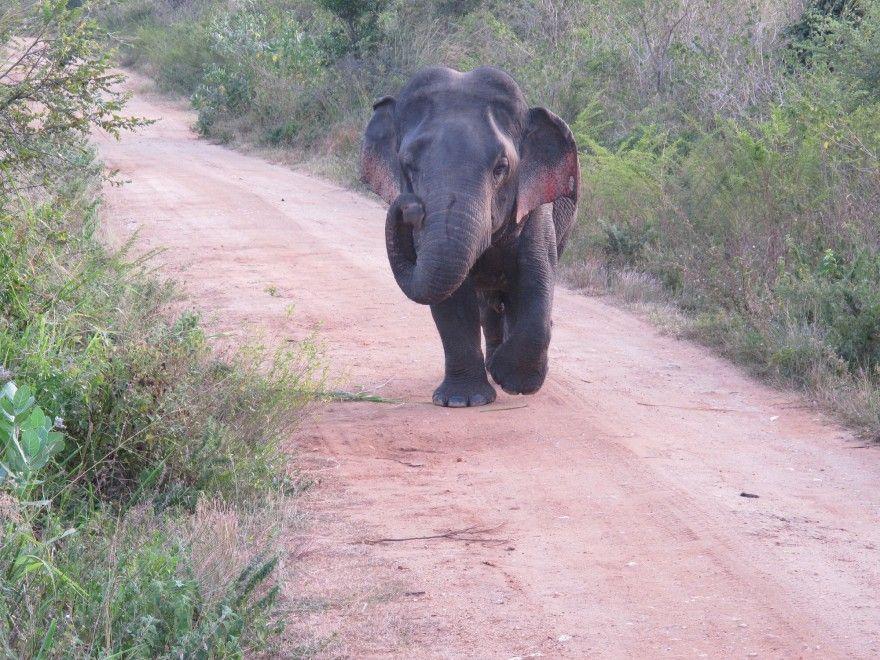 Sri Lanka, l'elefante nano: il primo caso documentato