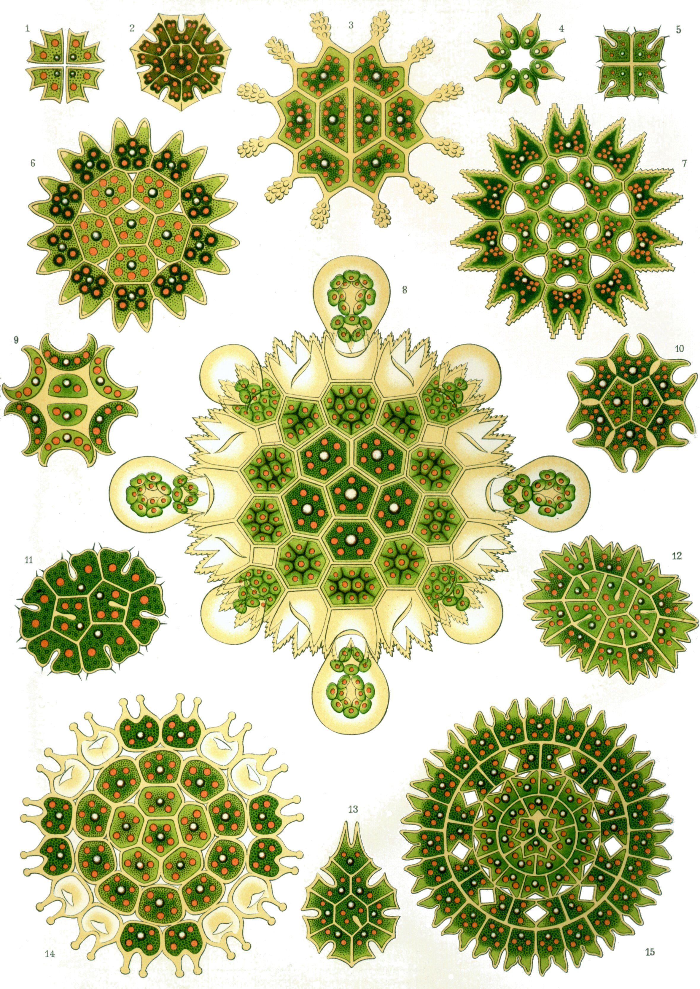 Resultados de la Búsqueda de imágenes de Google de http://upload.wikimedia.org/wikipedia/commons/f/f2/Haeckel_Melethallia.jpg