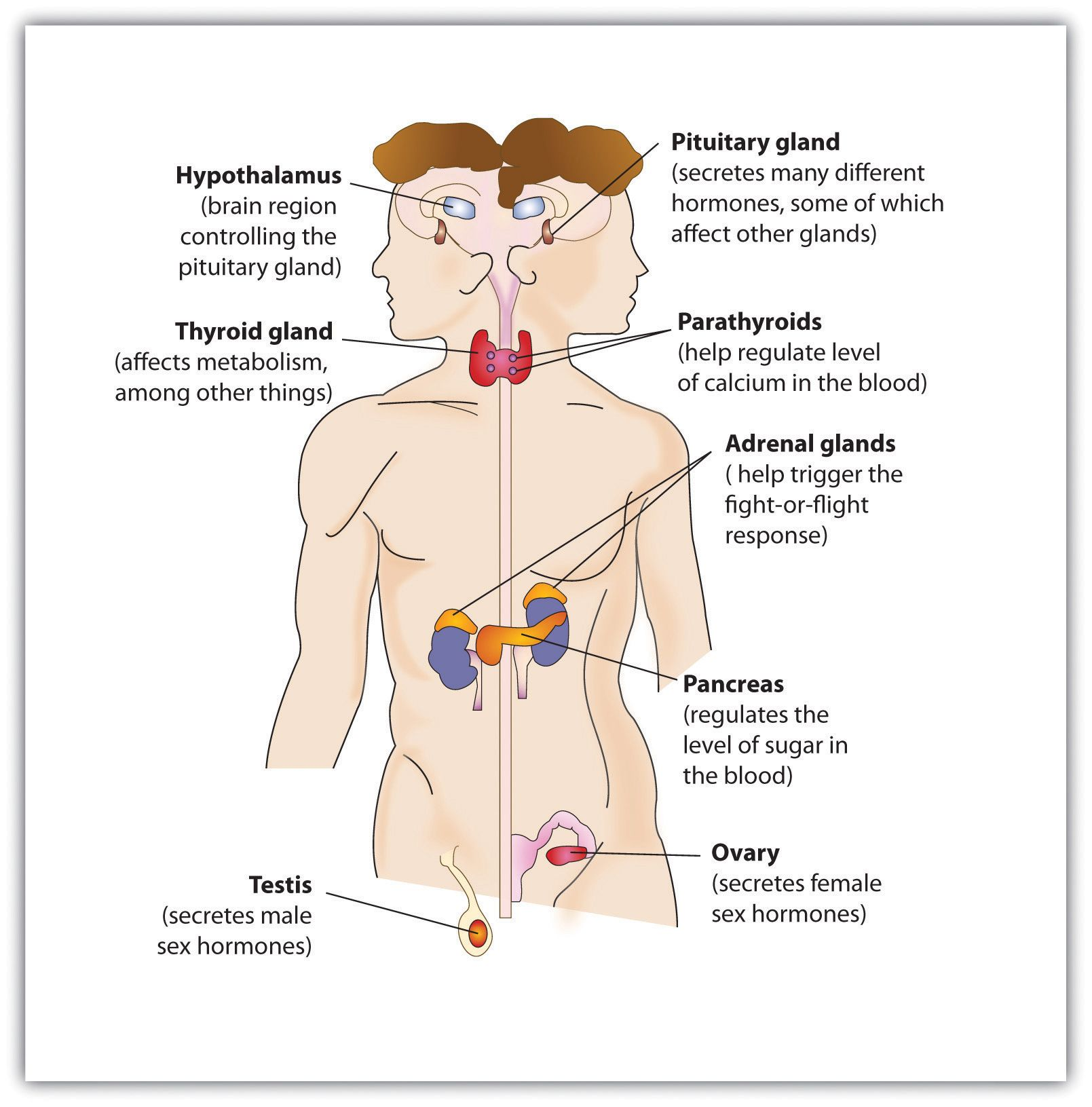 The Endocrine System Is Composed Of Endocrine Glands And Specialised