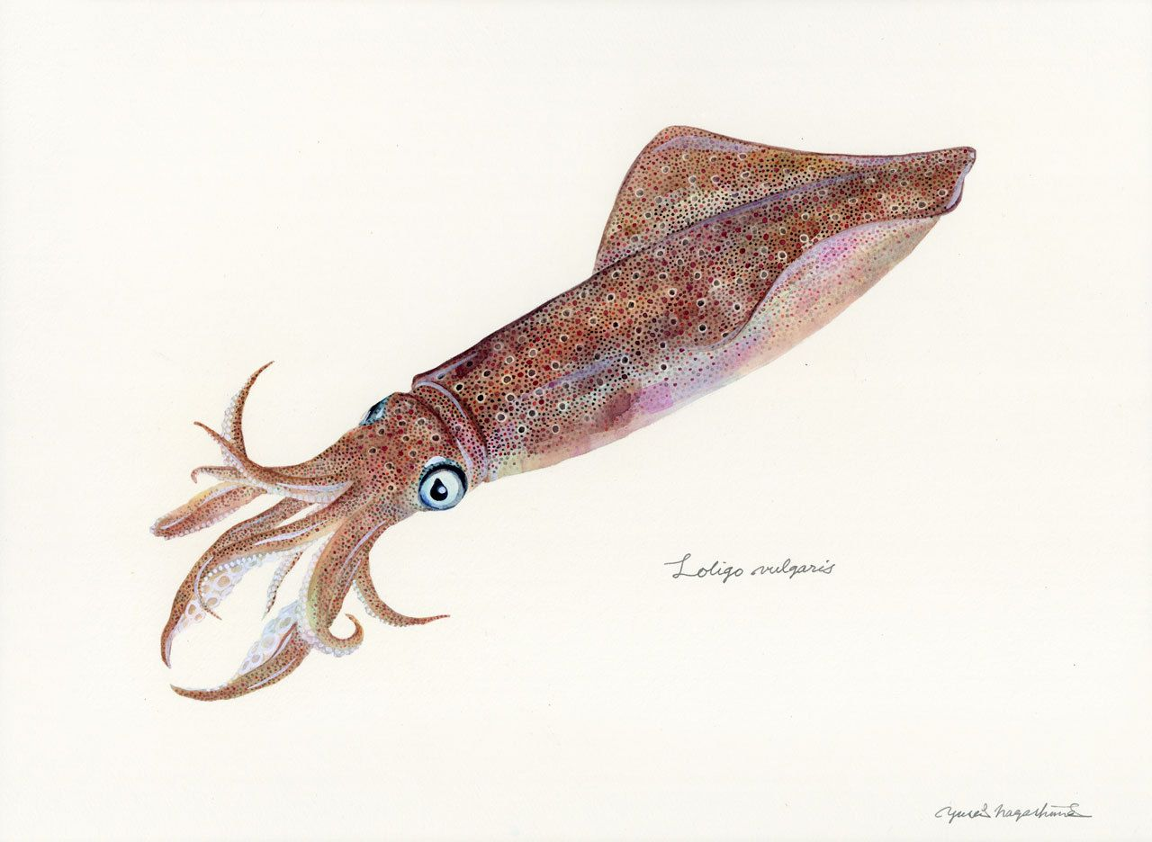 Loligo Vulgaris European Squid Fish Art Fish Drawings Sea Life Art