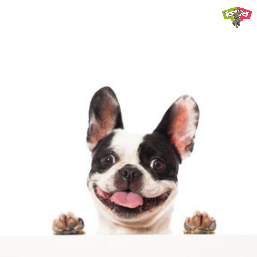 Smile It S Saturday Saturday Weekend Fun Frenchie Frenchbulldog Frenchielover Frenchiemom Frenchiepup Cute Funny Animals Frenchie Puppy Funny Animals