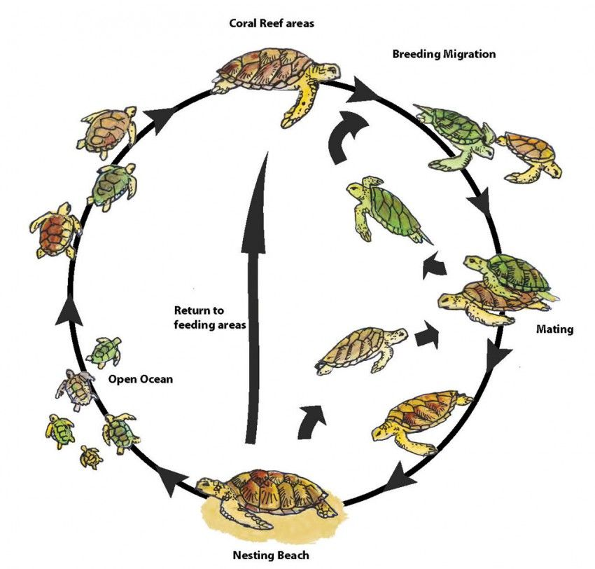 better for adult mating and nesting behavior | Green and Hawksbill ...
