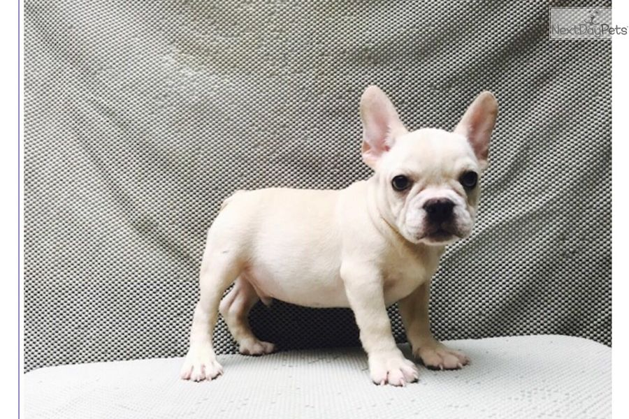 Thor French Bulldog Puppy For Sale Near Boston Massachusetts