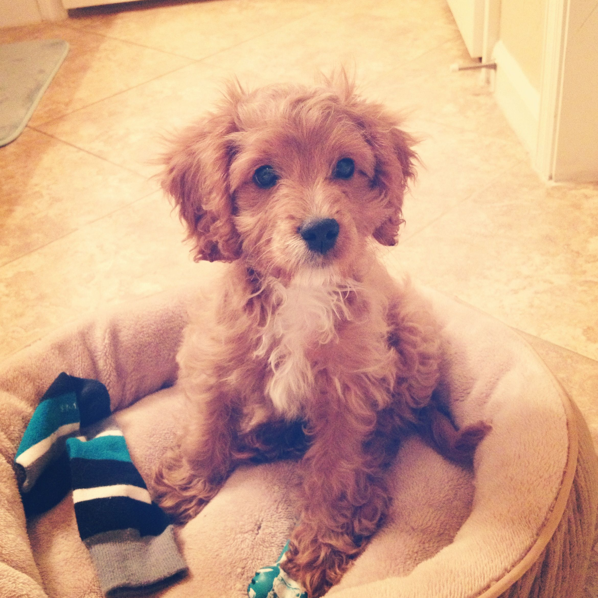 Cavapoonow My Jack Russell Just Has To Agree Cute Dogs