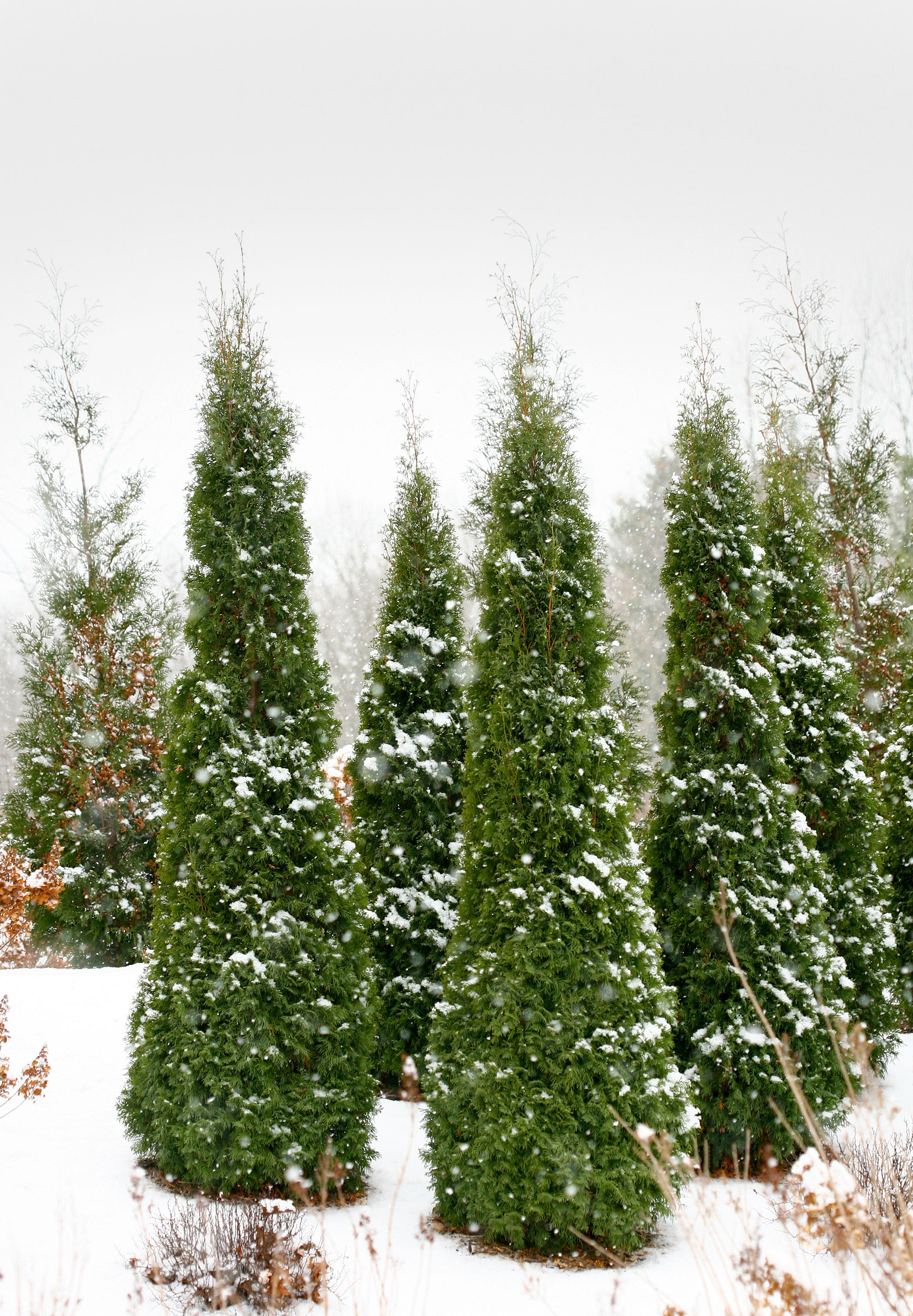 best for privacy screen north pole arborvitae