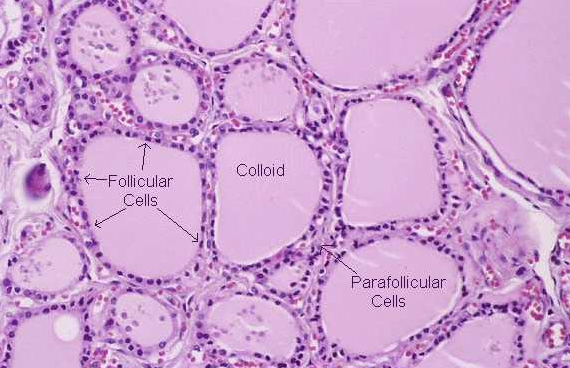 Histology Of The Thyroid Gland Look For Parafollicular Cells
