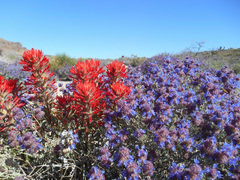 Red Indian paintbrushs blooming among purple desert sage