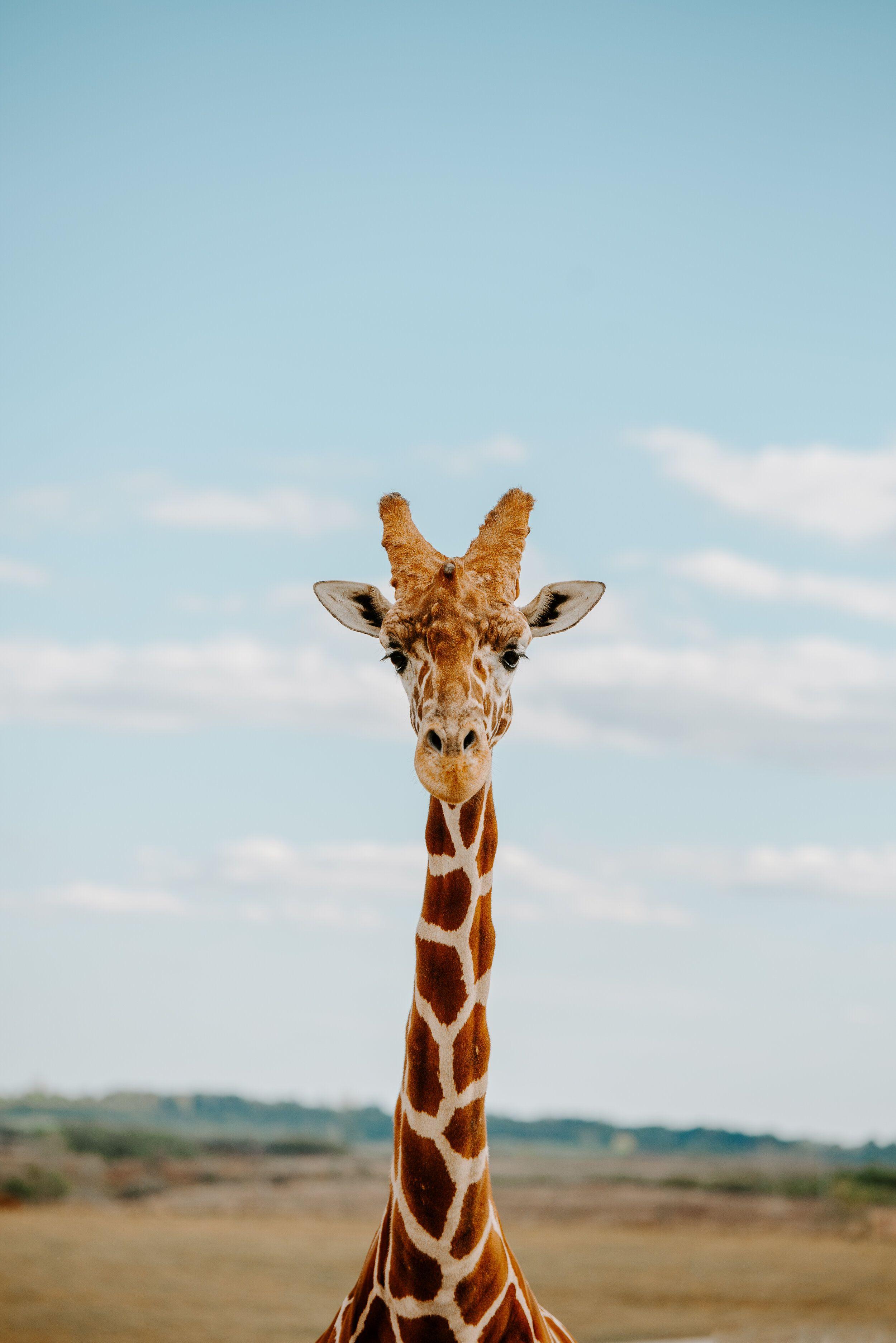 Earthcoco Giraffe 8 Jpg Giraffe Giraffe Pictures Cute Giraffe