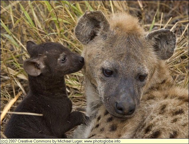 Google Image Result for http://www.acuteaday.com/blog/wp-content/uploads/2011/03/baby-hyena-and-mother.jpg