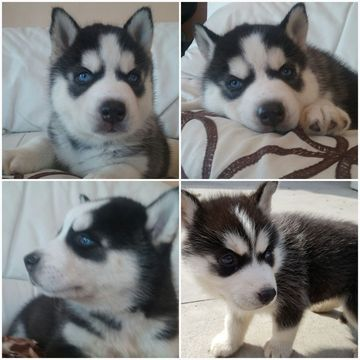 Litter Of 6 Siberian Husky Puppies For Sale In Los Angeles Ca