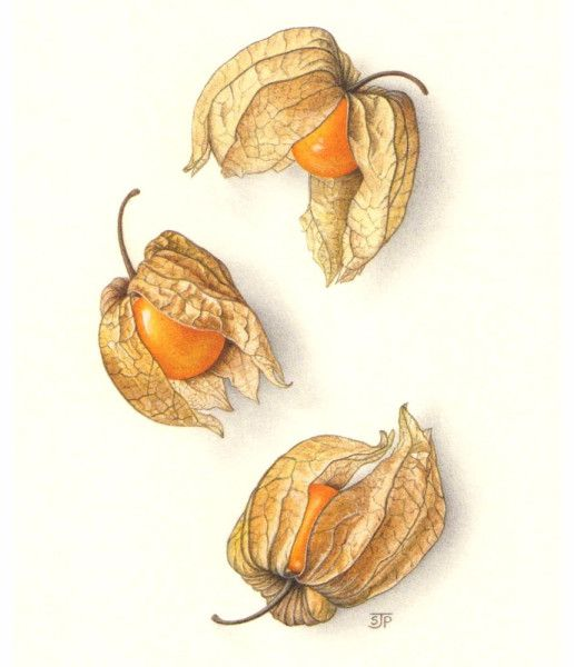 Sally Jane Perrin – The Society of Botanical Artists-Physalis ...
