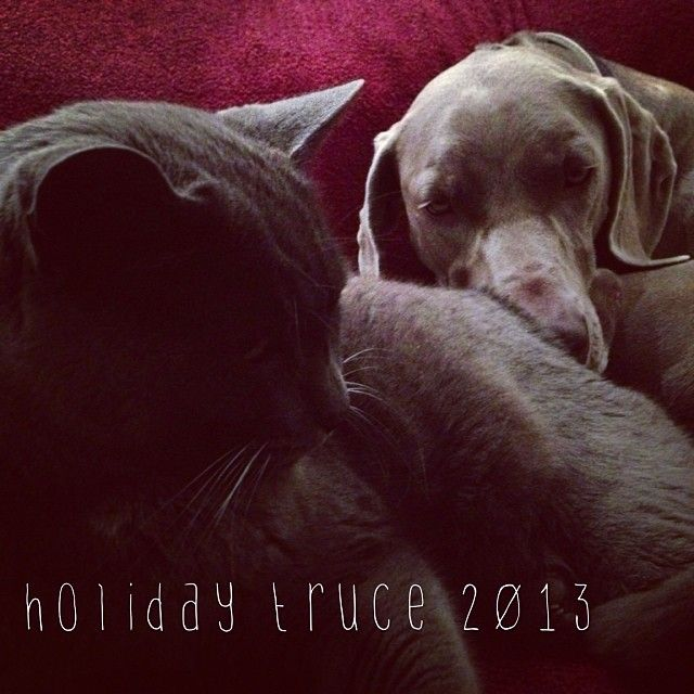 Holiday truce at #lynnvalestudios #itsagreything #weimeraner #russianblue