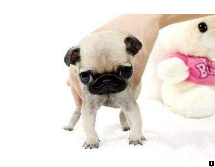 Read More About Pug Puppies For Sale Near Me Simply Click Here