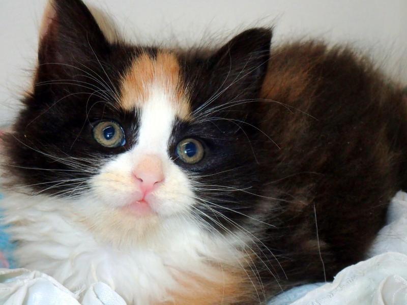 Adopt Lenore on Petfinder in 2020 Cat adoption, Calico