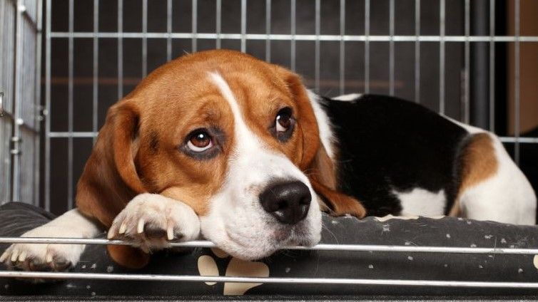 Dog crying in crate how to stop it beagle dog puppy