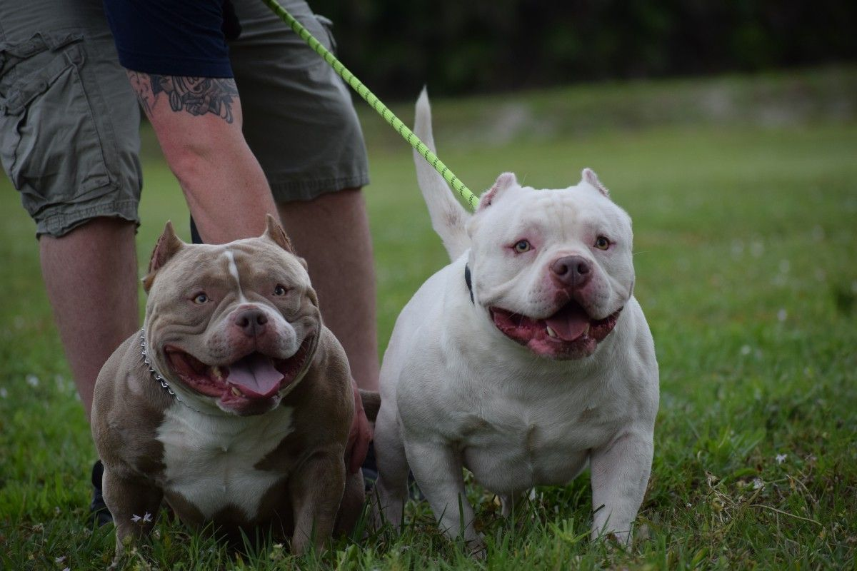 The Extreme Pocket Bully Pocket Bully American Bully Pocket Bullies For Sale