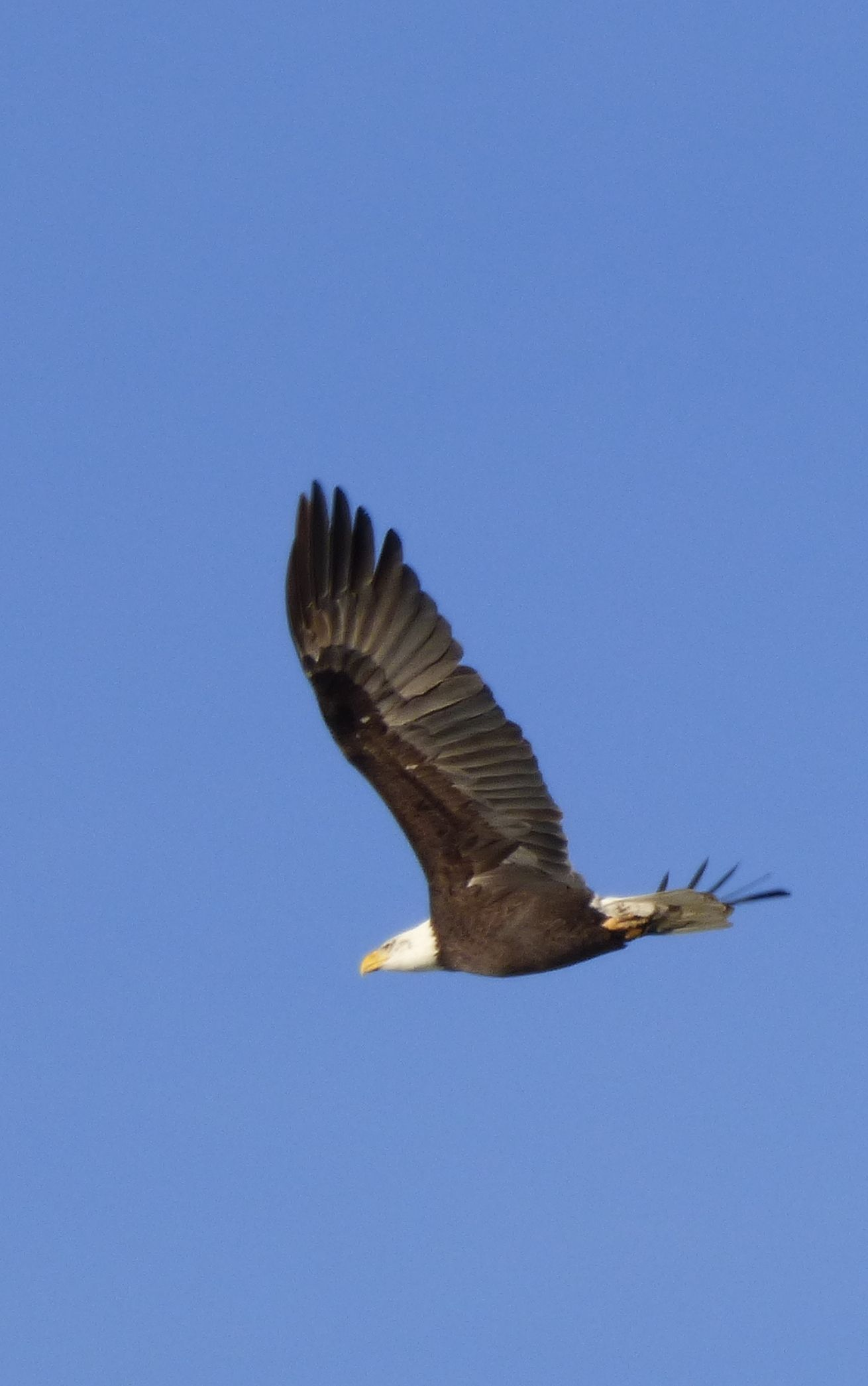 One of many Bald Eagle flying over the Nisqually National