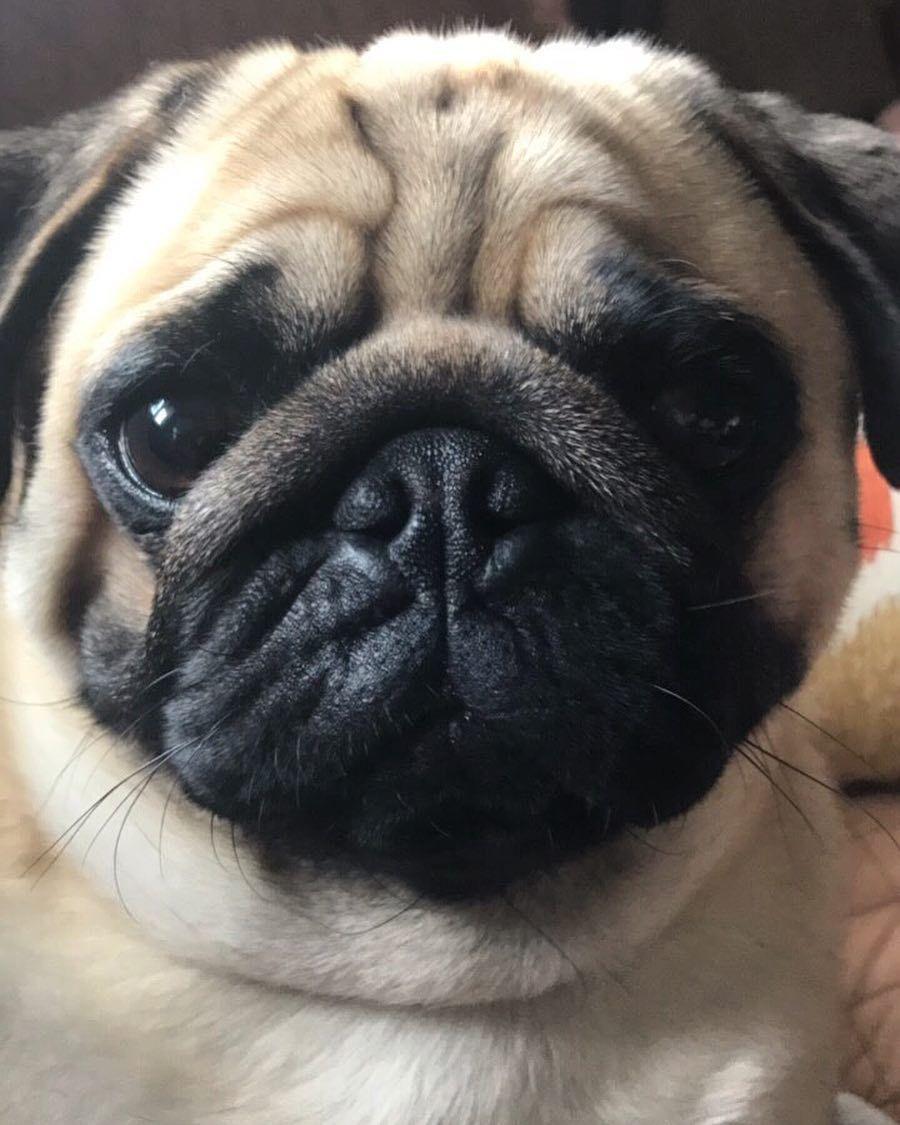 Resultado de imagen para pug staring