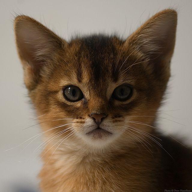 Abyssinian Kitten 8 Weeks Old 3 Cute Animals Abyssinian Kittens Animals