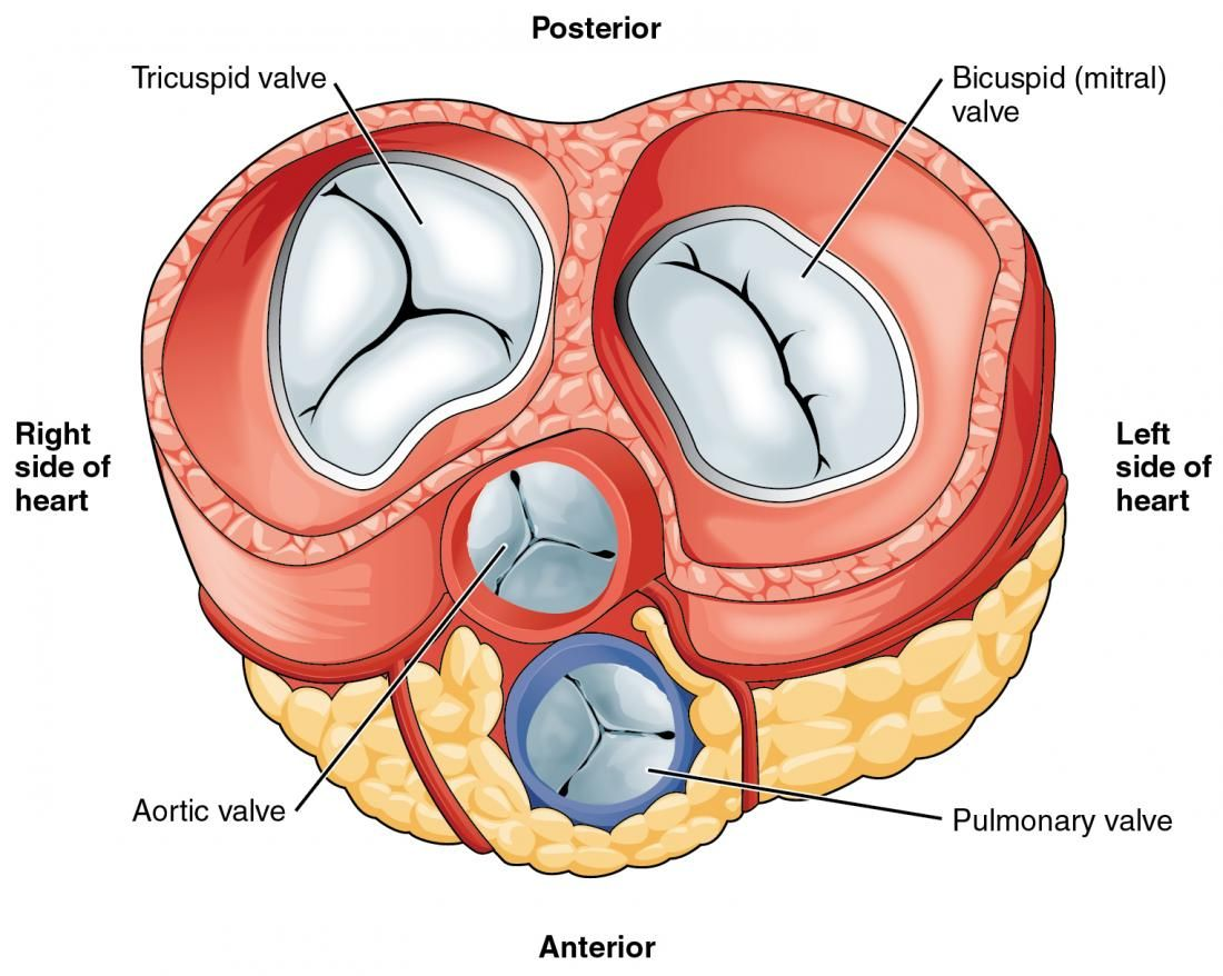 Heart valves Image credit: OpenStax College, Anatomy & Physiology ...