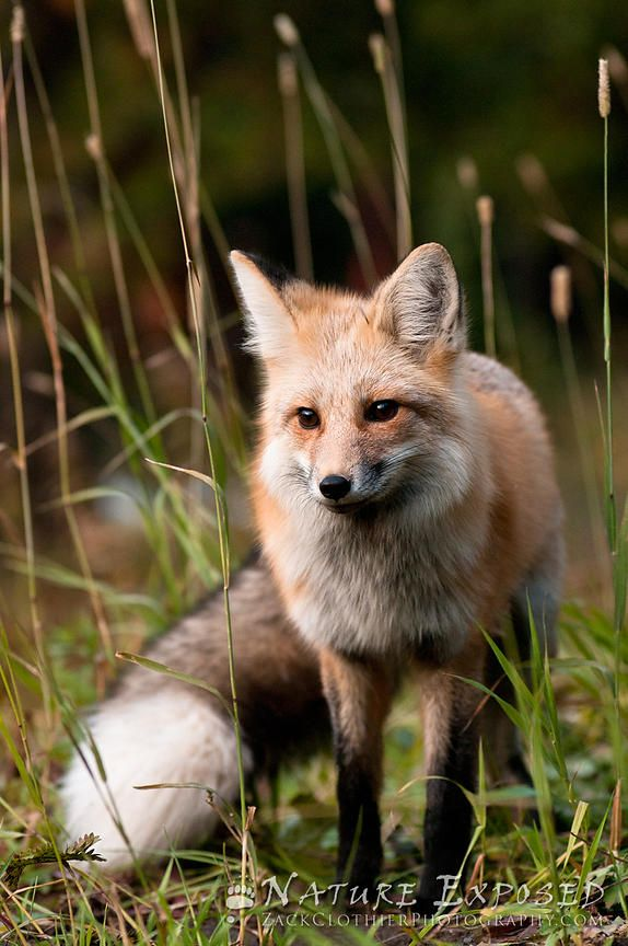 Red Fox by Zack Clothier | Nature Exposed