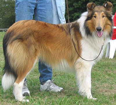 Traditional Rough Coated Collie Rough Collie Perro Collie Perros