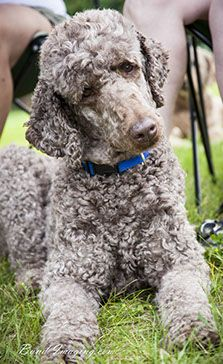 Poodles Smart Active And Proud Poodle Rescue Poodle Dog