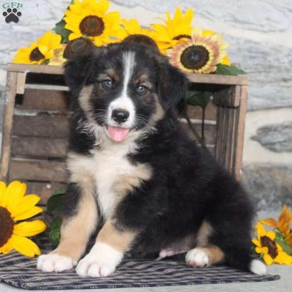 Akc Abca Border Collie Pups Merle Red Sable Black White