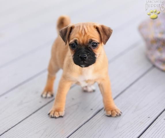 The Pug Head Tilt Jug Dog Dogs Pug Mix