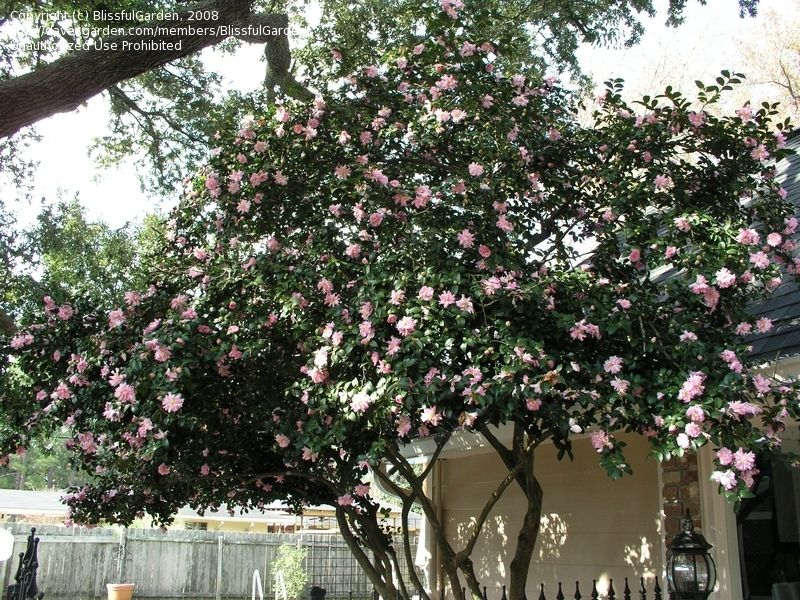 Full Size Picture Of Sasanqua Camellia Autumn Camellia Jean May Camellia Sasanqua Have One Of These In My Yard Can Camellia Tree Shade Garden Camellia
