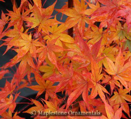 Japanese Maple Tsuma Gaki Acer Palmatum Tsuma Gaki Japanese