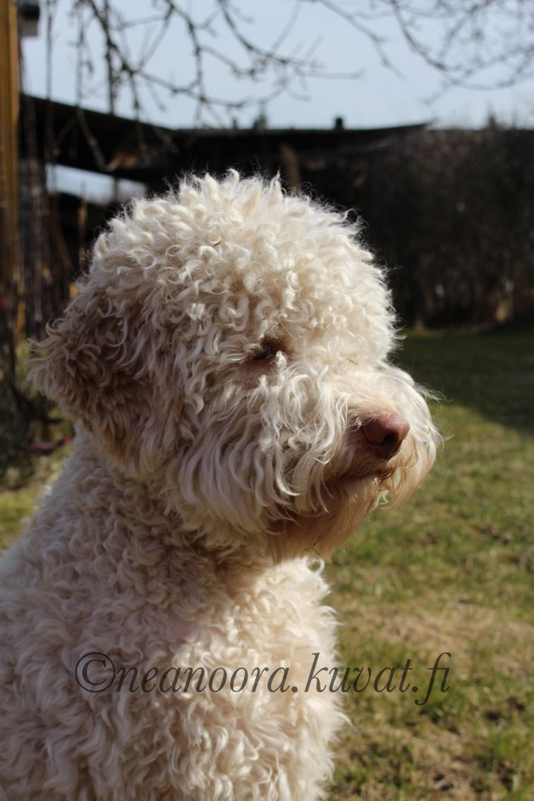 Stella Tulan Memoria Romantica Lagotto Hunde Welpen Hunde Tiere