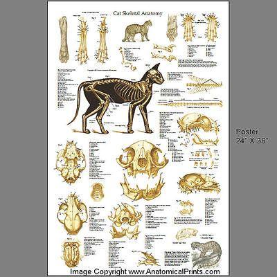 Cartel de la anatomía esquelética veterinaria felina gato 24 X 36 ...