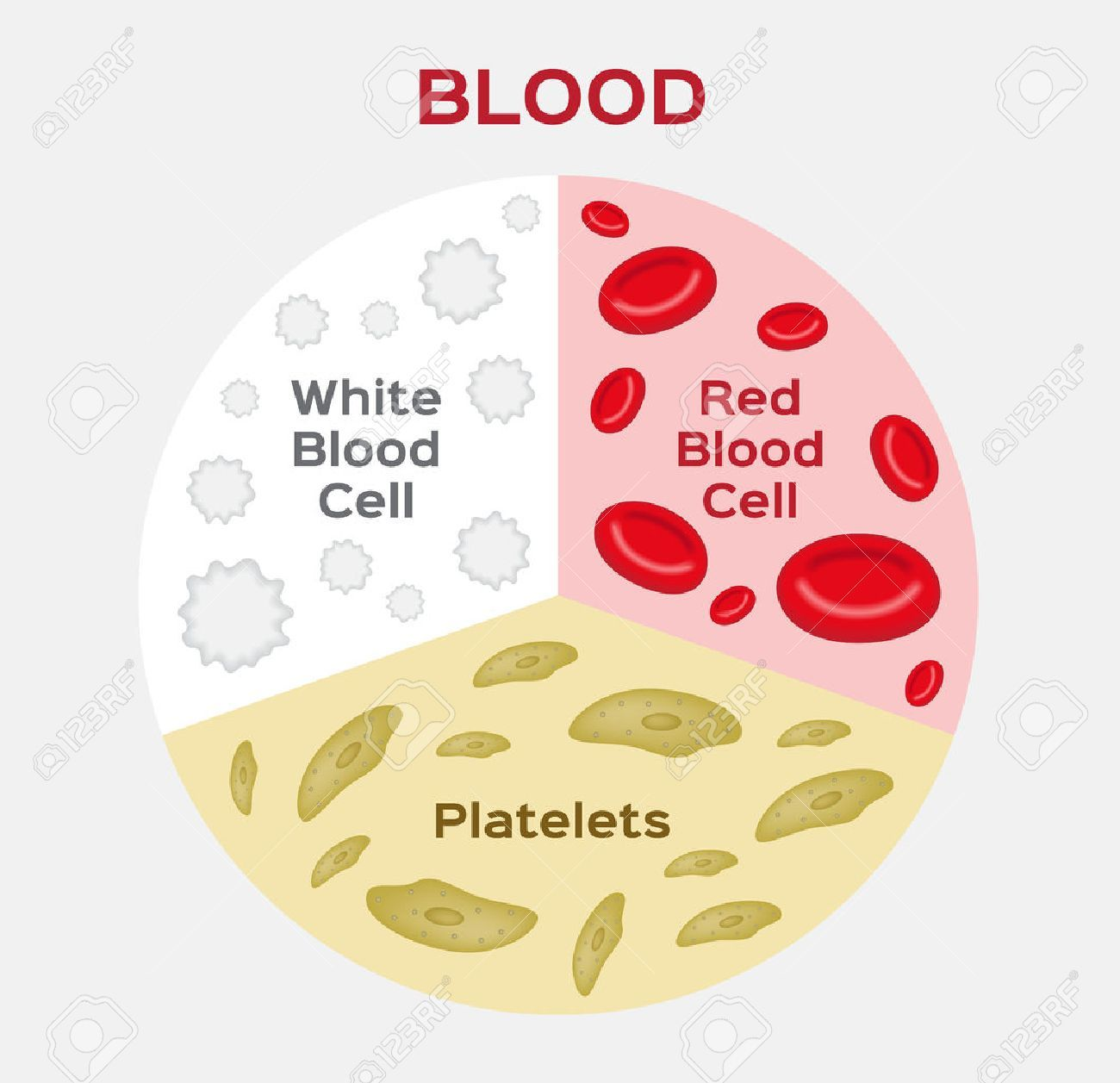 small resolution of composition of blood diagram red and white blood cell vector royalty free cliparts vectors and stock illustration image 67560337