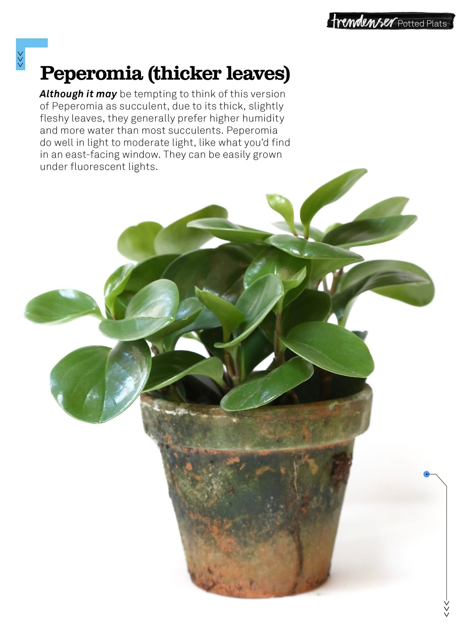 Peperomia Plant Thick Leaves The