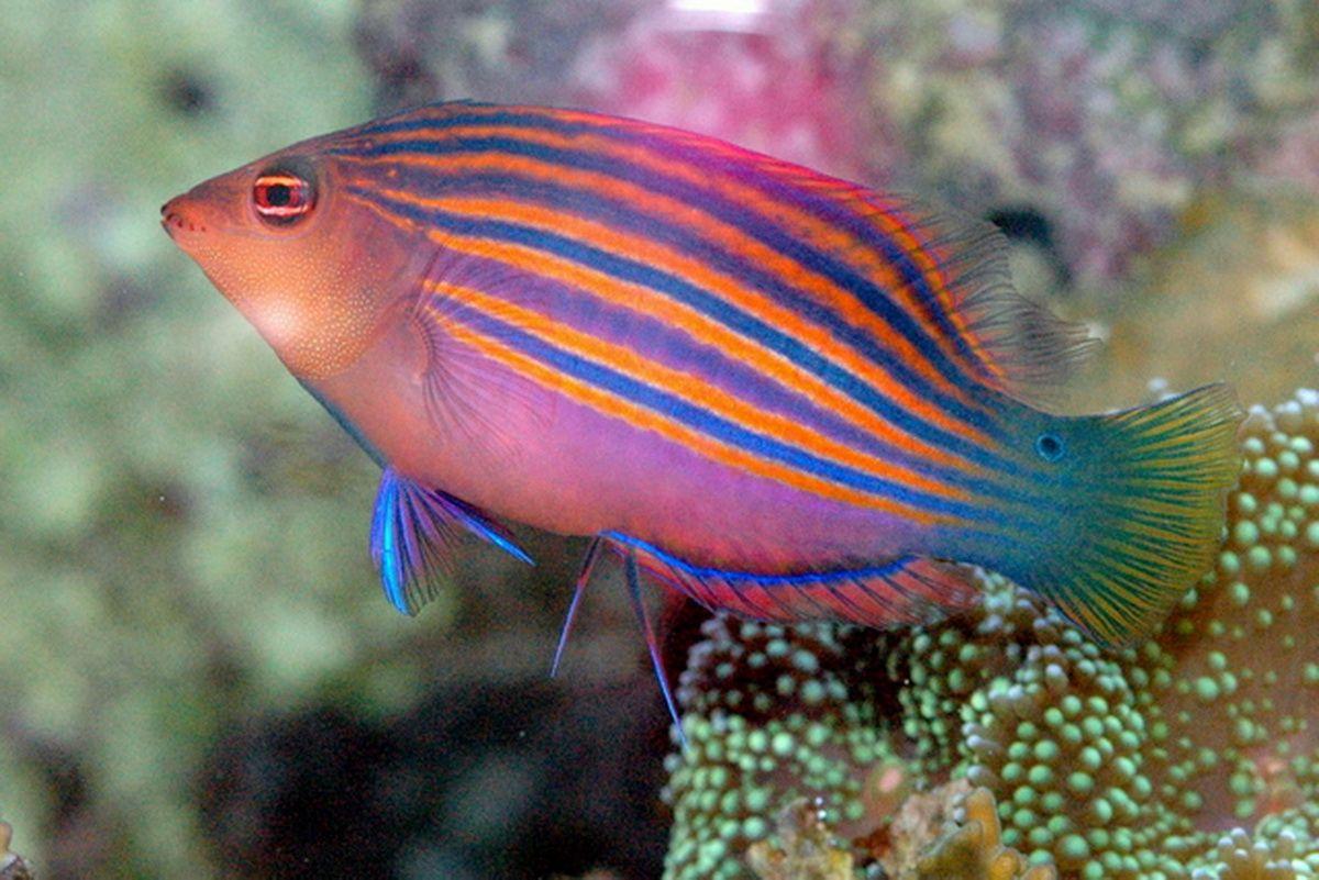 Six Line Wrasse Saltwater Aquarium Fish Marine Fish Aquarium Fish