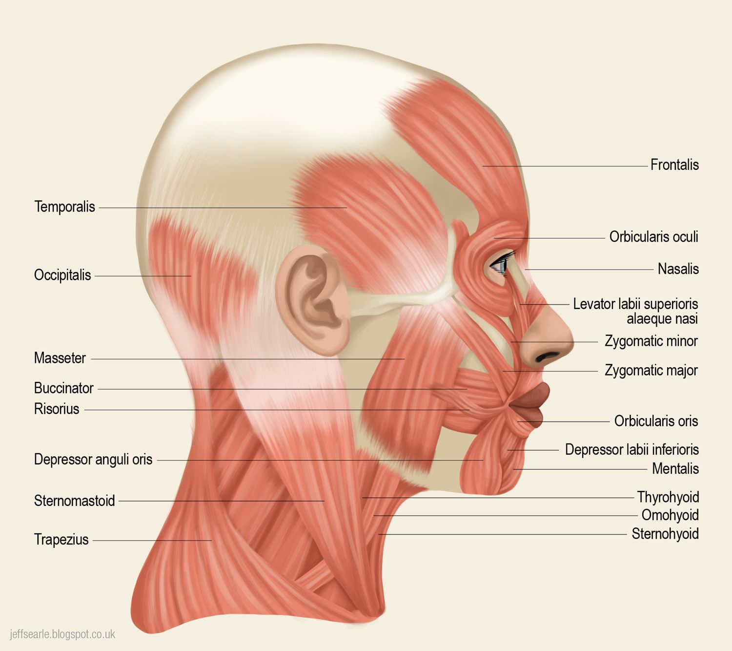 Diagram of back of your head free download wiring diagram jeff searle anatomy pinterest anatomy and art blog where are your lymph nodes in neck diagram back neck lymph nerves in back of head head and neck lymph pooptronica Images