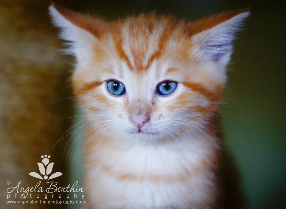 Kitten Orange Tabby Copyright Angela Benthin Photography