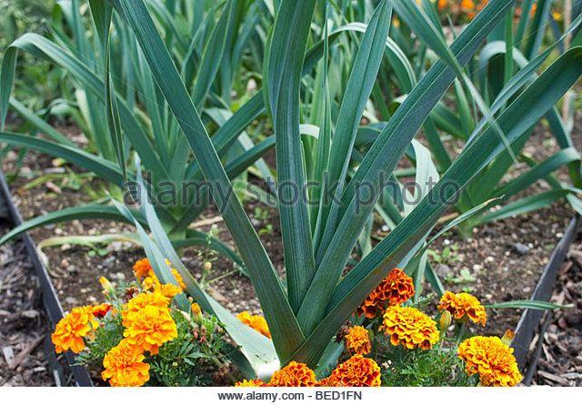 Companion Planting leeks between corn. Nice mild onion ... Leek Companion Plants