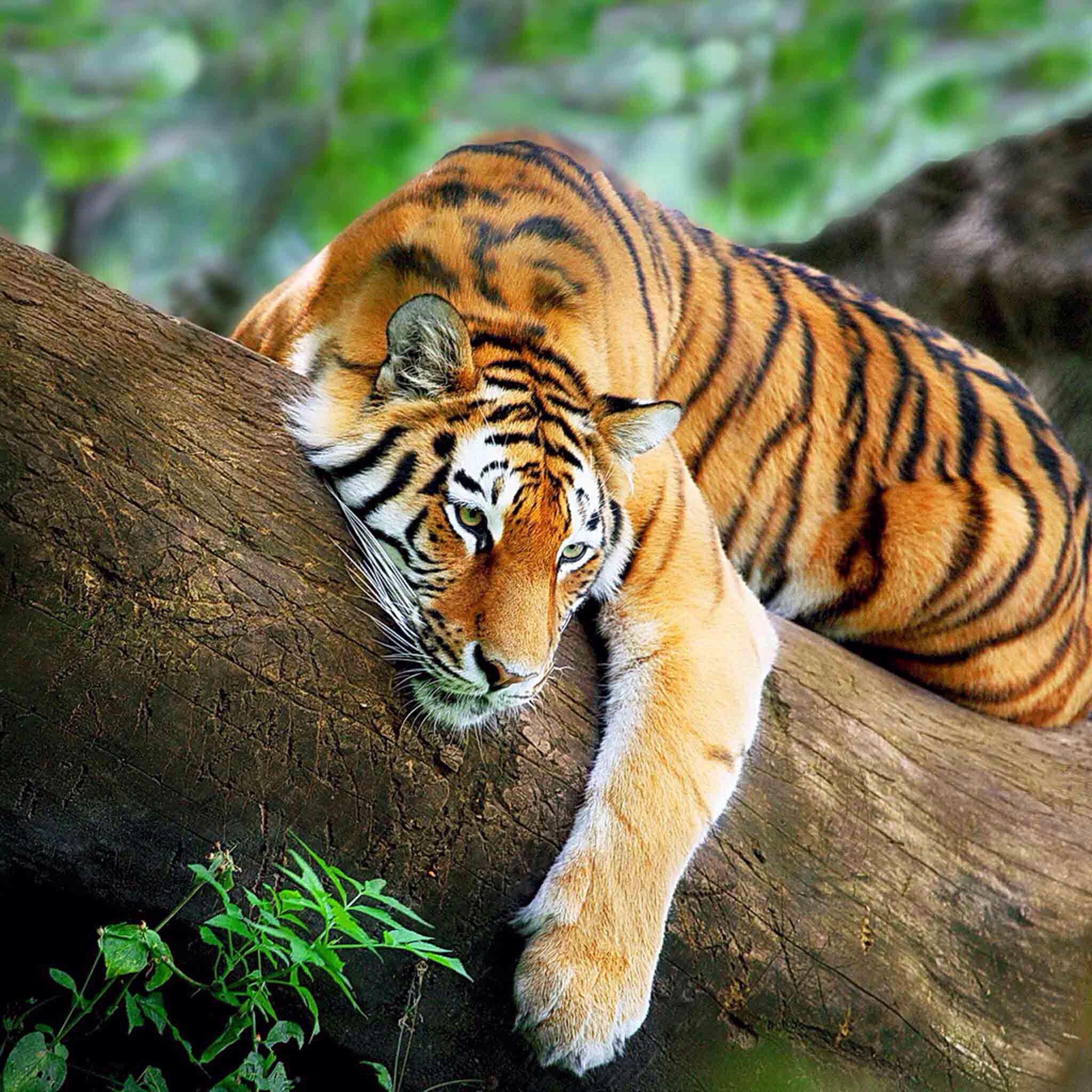 Bengal tiger yawning showing teeth and tongue Stock Photo ... |Bengal Tiger Tired