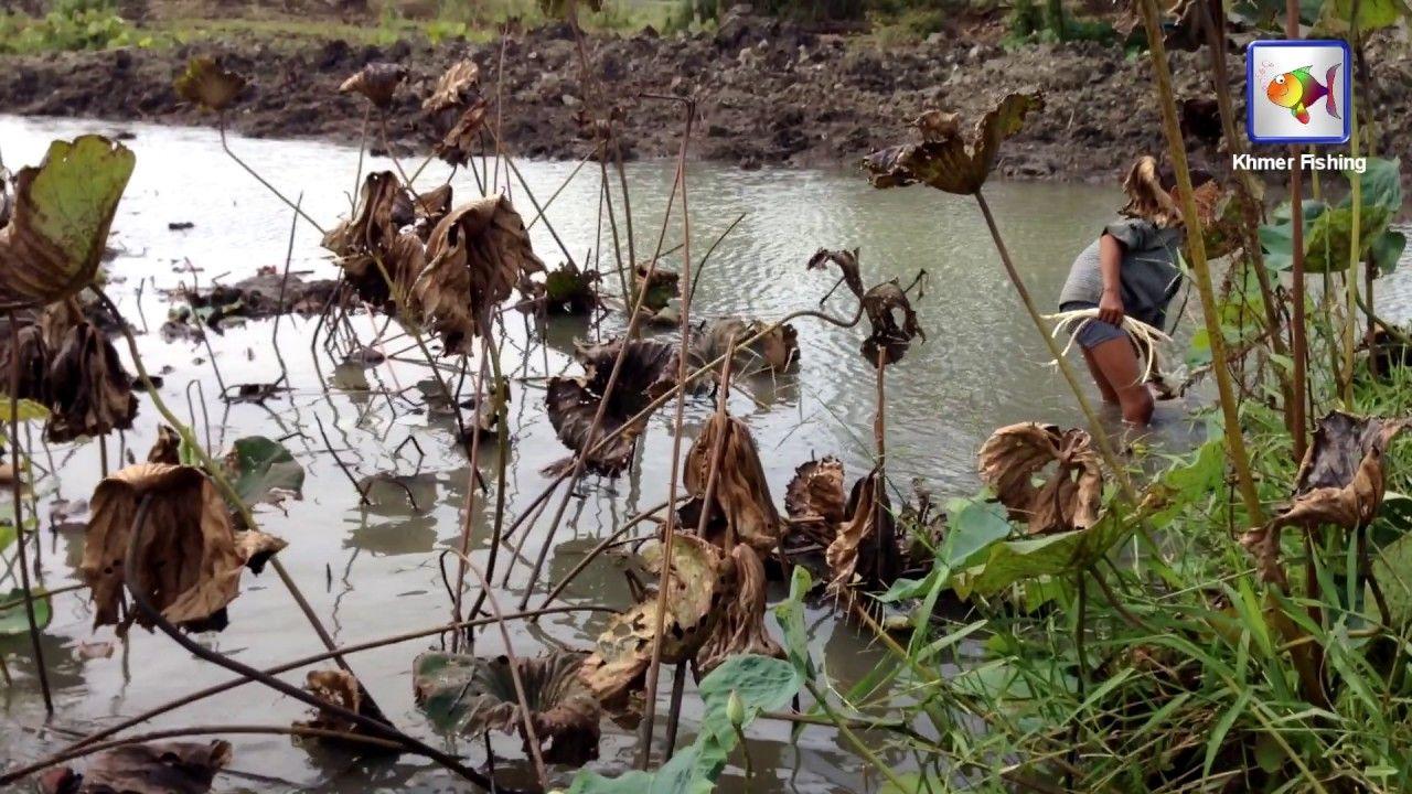 Harvesting of Lotus Root in Lotus Flower Lake  - Kampong Cham Province, ...