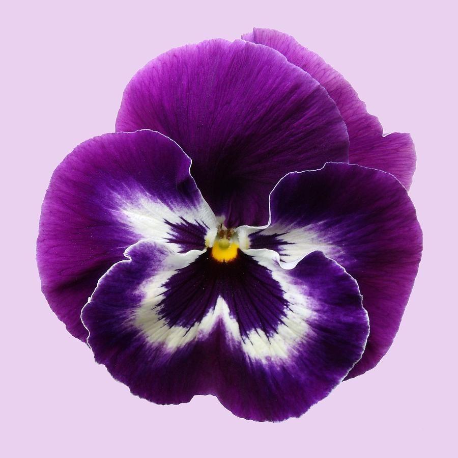 Purple Pansy By Sarah Couzens In 2020 Pansies Flowers Pansies Watercolor Flowers