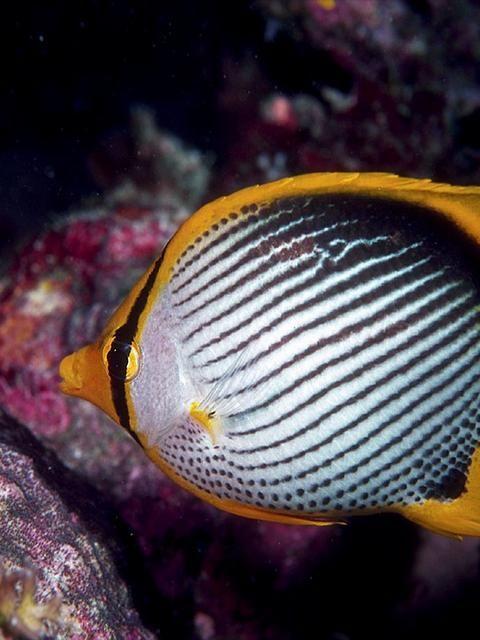 blackback #butterflyfish