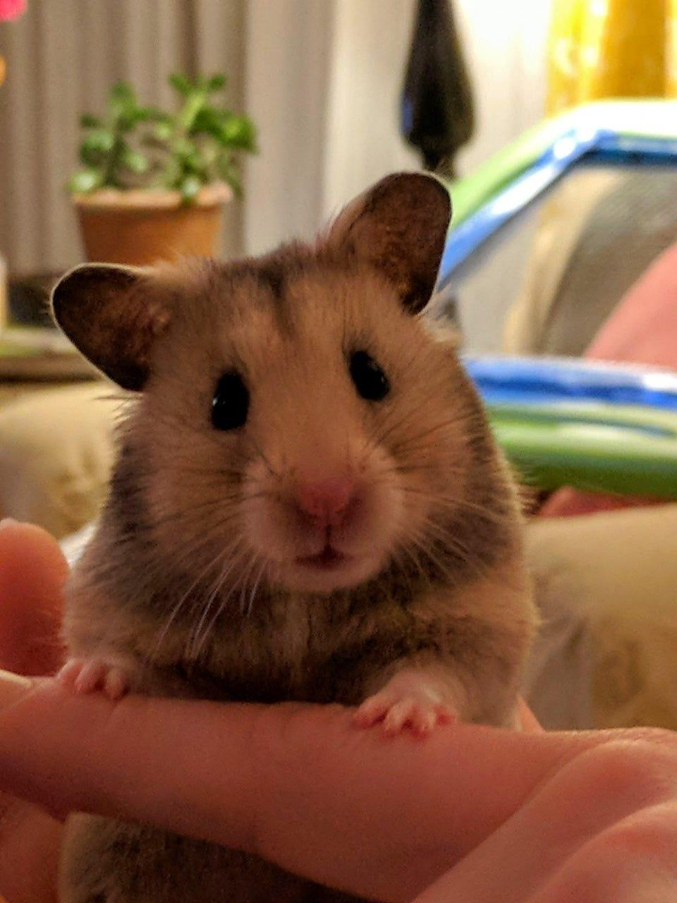 Reddit hamsters My girl Cabot wanted to say hello in