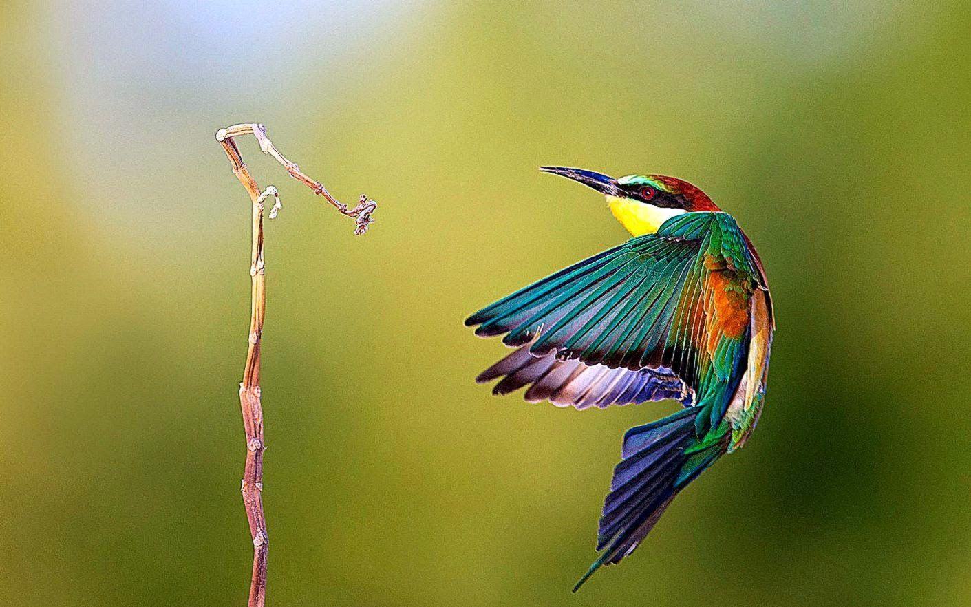 Bee Eaters Hd Wallpapers Hd Wallpapers Inn Jpg 1411 882 Birds Wallpaper Hd Beautiful Bird Wallpaper Pet Birds