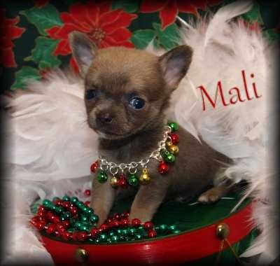 Chihuahua Puppies For Free Chihuahuas For Sale Ads Free