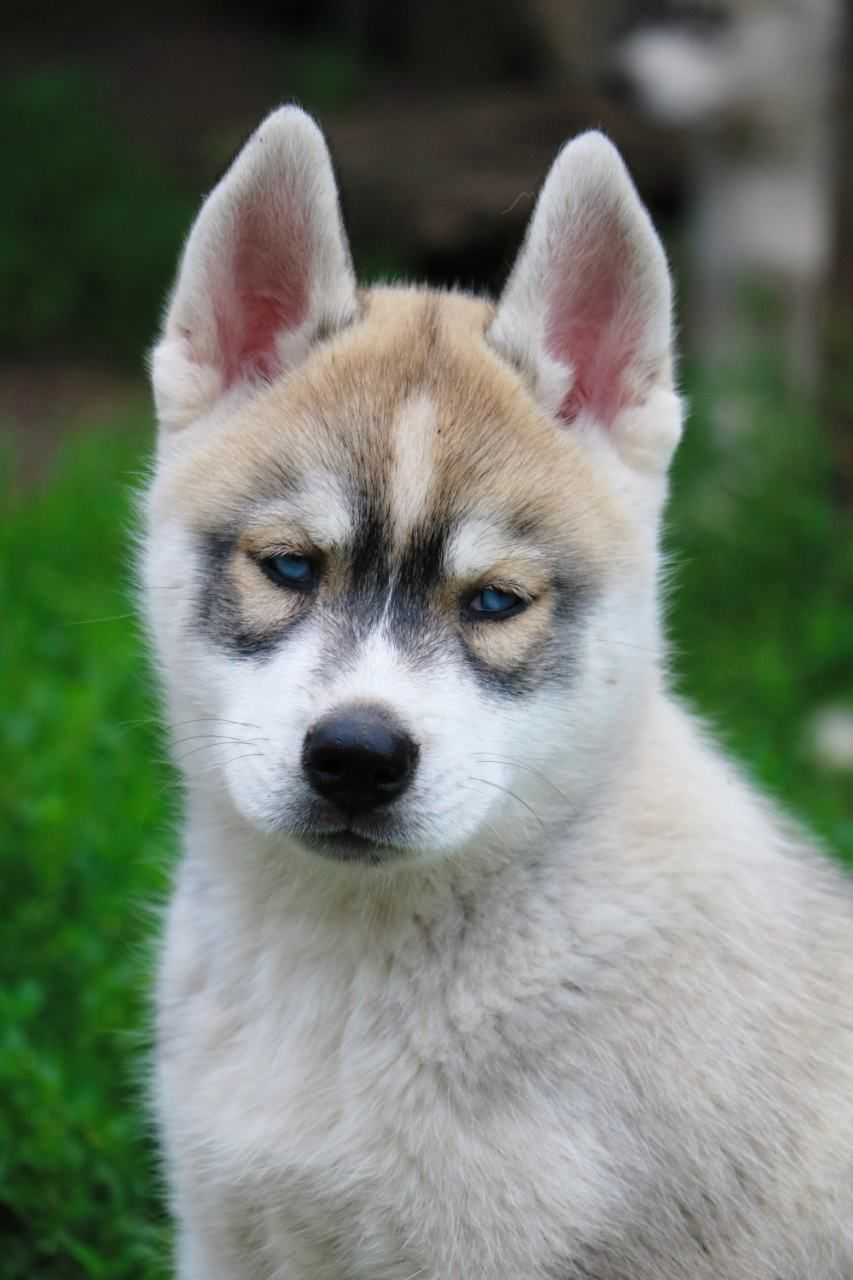Siberian Husky Puppies For Sale Find A Siberian Husky Dog Or Puppy Dogs Puppies Husky Puppies For Sale