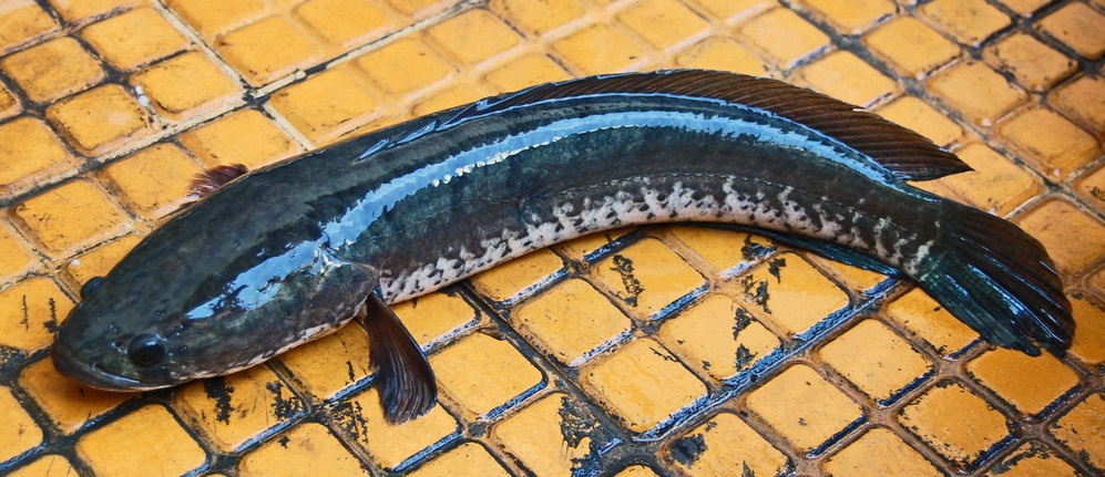 Channa Striata Also Known As Snake Head Fish They Come In A Variety Of Species Snakehead Fish Fish Fresh Water